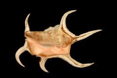 Seashell épineux Image stock
