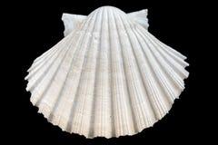 Seashell изолированный на черной предпосылке Стоковые Фото