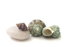 Seashell изолированный на предпосылке стоковые фото
