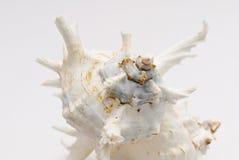 Seashell на белой предпосылке Стоковые Изображения RF
