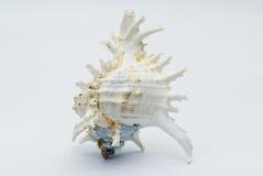 Seashell на белой предпосылке Стоковые Изображения