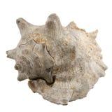 Seashell на белизне Стоковые Изображения RF