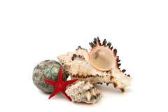 Seashell на белой предпосылке изолированной над белизной стоковое изображение