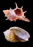Seashell на черной предпосылке раковины моря морского isola улитки Стоковые Изображения RF
