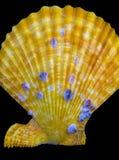 Seashell на черной предпосылке раковины моря морского isola улитки Стоковое фото RF
