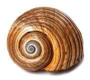 Seashell очень большой улитки моря & x28; Galea Tonna или гигантское tun& x29; стоковые изображения rf