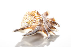Seashell раковины спайдера Стоковая Фотография