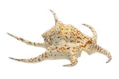 seashell раковины Стоковые Фото