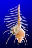 Seashell 1 Immagini Stock