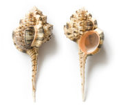 Seashell Fotografía de archivo libre de regalías