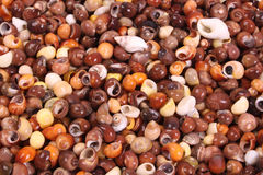 Seashell Imagens de Stock