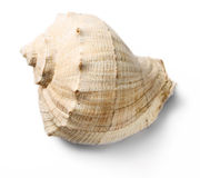Seashell Stock Photography