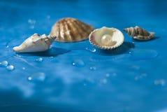 Seashell lizenzfreie stockfotos