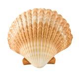 Seashell. Beauty seashell isolated on white Stock Images