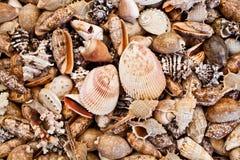 Seashell Fotografia Stock