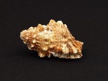 seashell Стоковые Фотографии RF