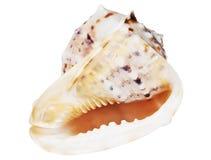 Seashell photo libre de droits