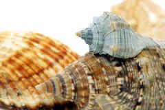 Free Seashell Stock Image - 19931921