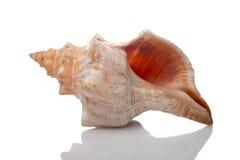 Seashell fotografia de stock
