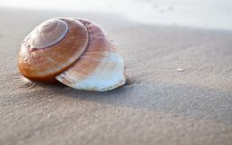 Seashell Stock Image