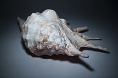 Seashell Image stock
