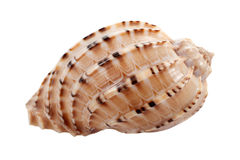 Seashell Immagine Stock