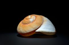 Seashell photographie stock