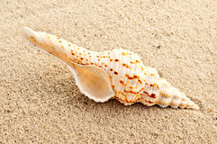 Seashell. Royalty Free Stock Photography