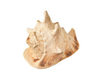 Seashell Royalty Free Stock Photos