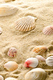 Seashell Foto de Stock
