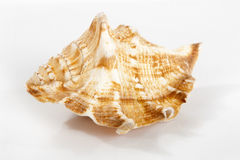 Seashell. Nice seashell on grey royalty free stock photography