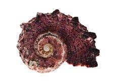 Seashell. Royalty Free Stock Photography