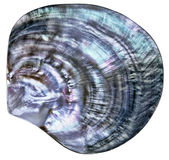 Большой цветастый seashell Стоковые Изображения