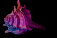 Seashell Royalty Free Stock Photos