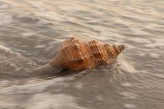 Seashell Fotografia de Stock Royalty Free
