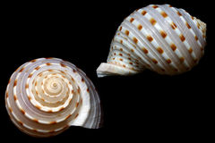 Seashell Royalty Free Stock Photography