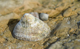 Seashell. Found at the coast of Ambleteuse stock photo