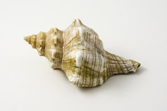 seashell Στοκ φωτογραφία με δικαίωμα ελεύθερης χρήσης