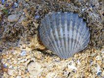 seashell immagini stock