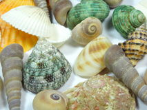 seashell Fotografia de Stock Royalty Free