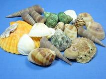 seashell Imagem de Stock Royalty Free