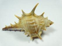 seashell Imagem de Stock