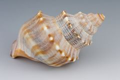 Seashell. Single seashell, grey background Royalty Free Stock Photos