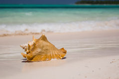 Seashell. Bavaro beach at the Dominican republic royalty free stock image