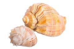 seashell Lizenzfreie Stockbilder