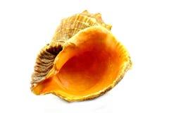 Seashell Стоковые Изображения