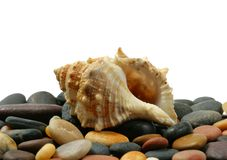 Seashell. Sea cockleshell on stones against white background stock photo