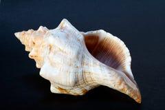 seashell Стоковые Фото