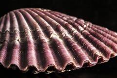 seashell Στοκ φωτογραφίες με δικαίωμα ελεύθερης χρήσης