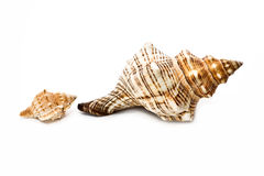 Seashell. Two beautiful seashell are white on background royalty free stock image